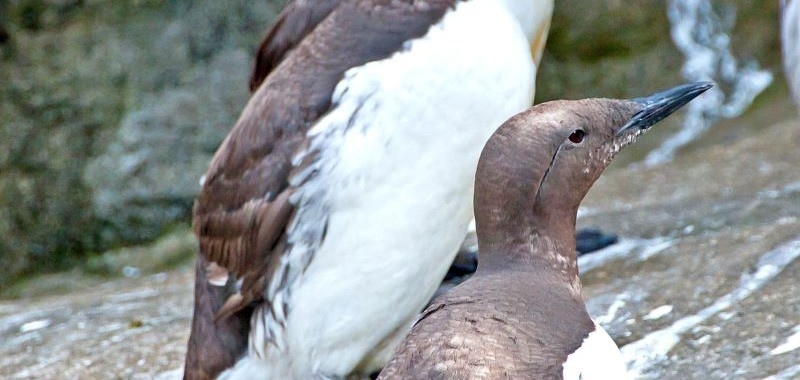 sea-bird-common-murre-1013tm-pic-1391.jpg